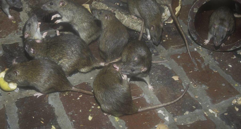 уничтожение крыс в Архангельске